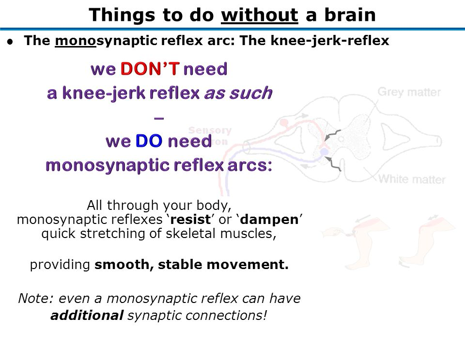 Things to do without a brain l The monosynaptic reflex arc: The knee-jerk-reflex All through your body, monosynaptic reflexes 'resist' or 'dampen' quick stretching of skeletal muscles, providing smooth, stable movement.