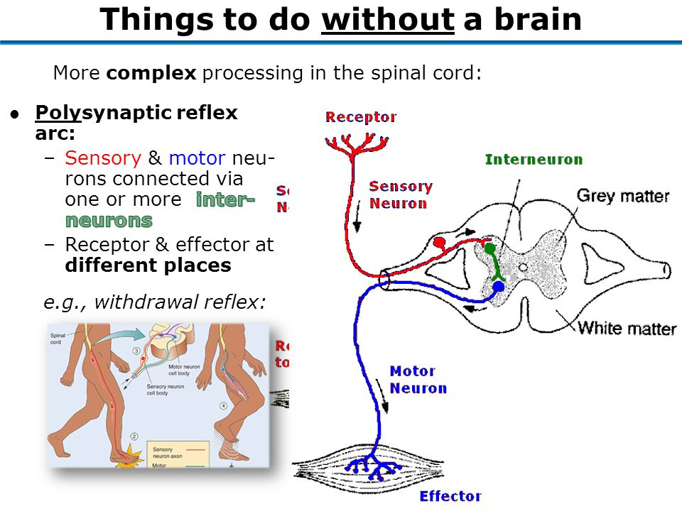 More complex processing in the spinal cord: Things to do without a brain