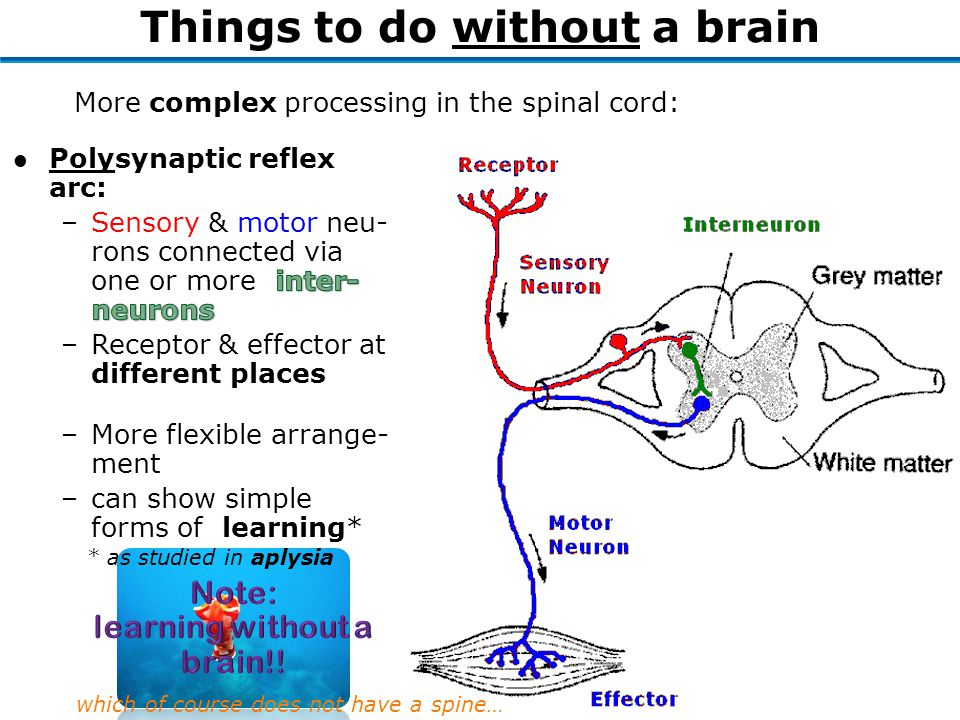 –More flexible arrange- ment –can show simple forms of learning* More complex processing in the spinal cord: Things to do without a brain * as studied in aplysia which of course does not have a spine…