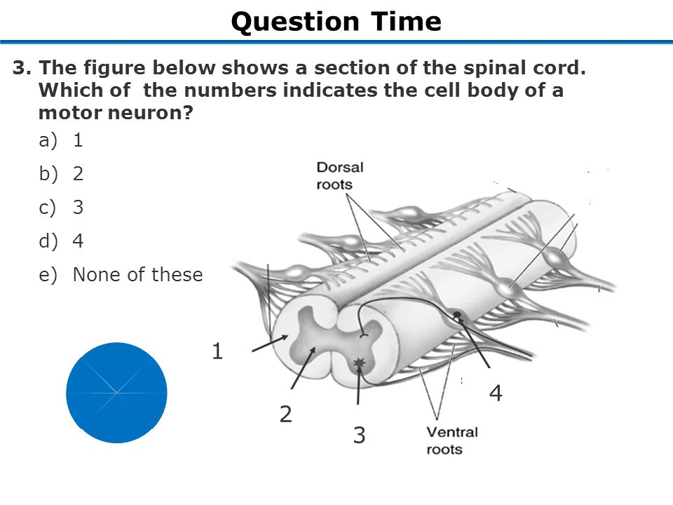 Question Time 1 2 3 4 3. The figure below shows a section of the spinal cord.