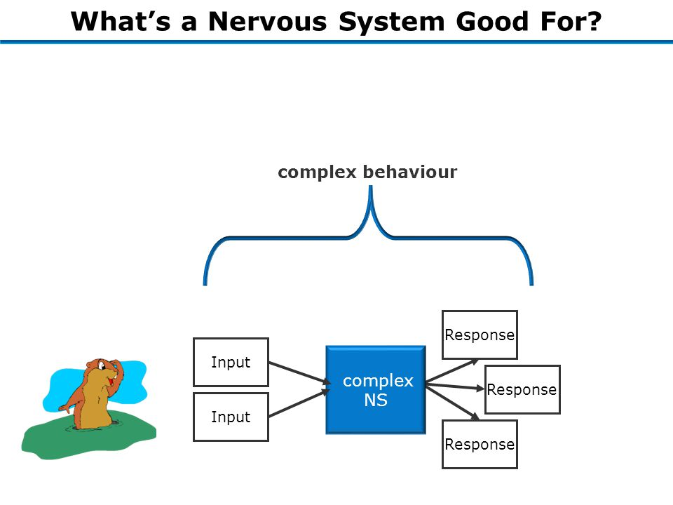 What's a Nervous System Good For Organism Response complex behaviour complex NS Input