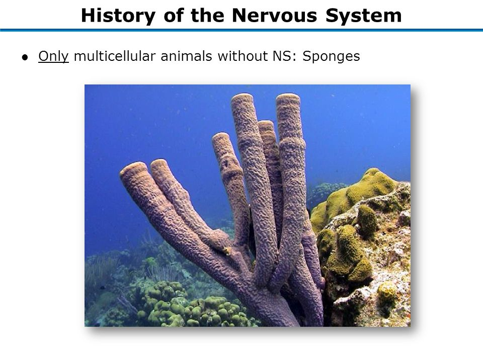 History of the Nervous System l Only multicellular animals without NS: Sponges