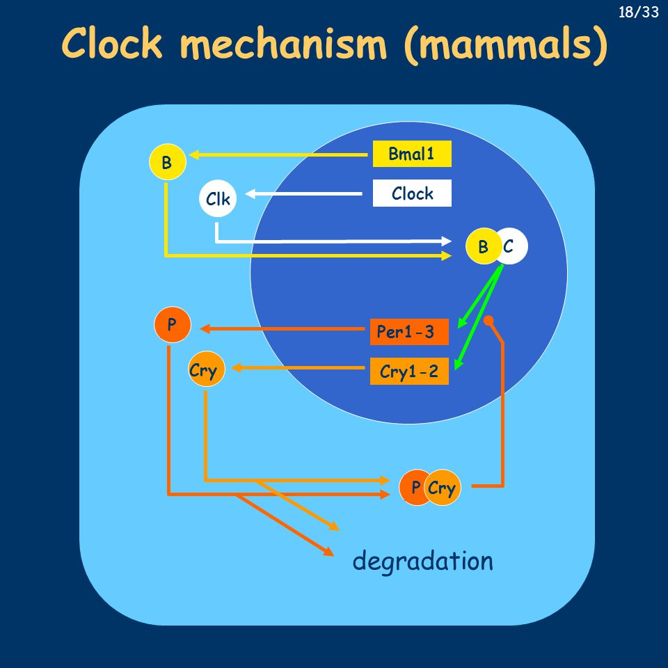 Clock mechanism (mammals) Bmal1 Clock Per1-3 Cry1-2 B Cry ClkPC B PCry degradation 18/33