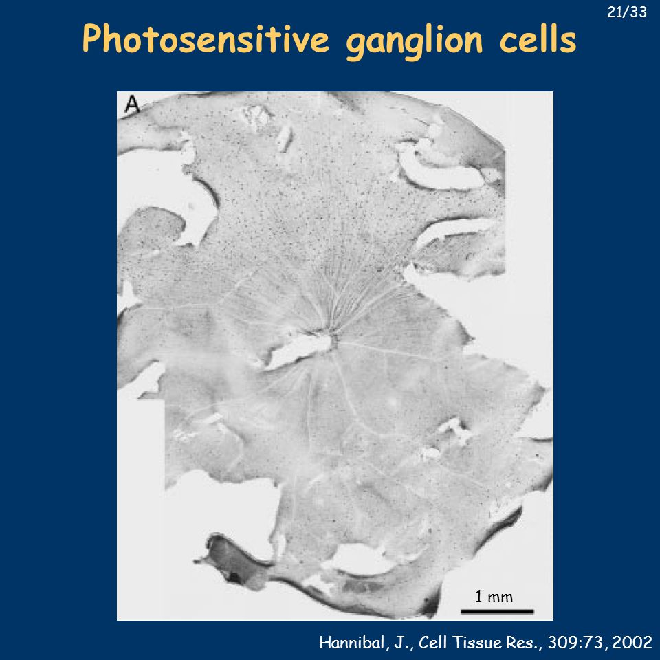 1 mm Photosensitive ganglion cells Hannibal, J., Cell Tissue Res., 309:73, 2002 21/33