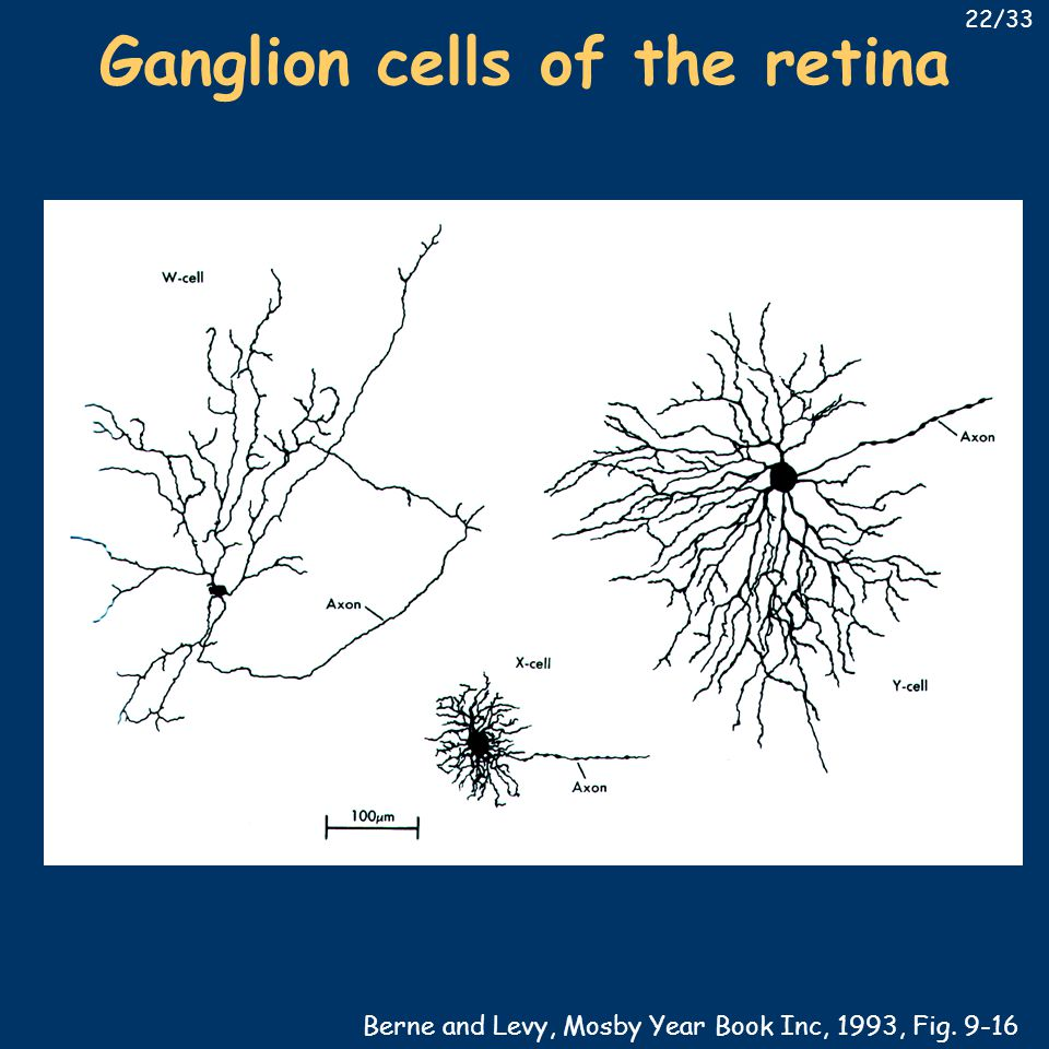 Ganglion cells of the retina Berne and Levy, Mosby Year Book Inc, 1993, Fig. 9-16 22/33