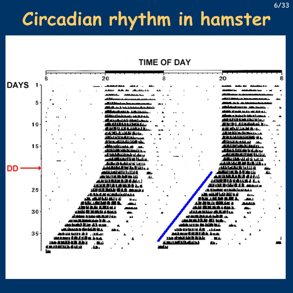 Discovery of clock genes 1985 – Martin Ralph – tau-mutant hamster short period in continuous dark (DD), Mendelian inheritance (20/22/24) breakthrough in 1994 using forward genetics – Vitaterna (PhD student) Clock mutant among the first 42 mice – abnormally long period, ceases in DD the mutation caused loss of a glu-rich region characteristic for bHLH type transcription factors conclusion: CLOCK is a transcription factor CLOCK also contains a PAS (Per-Arnt-Sim) domain – ability to form dimers with similar proteins 17/33