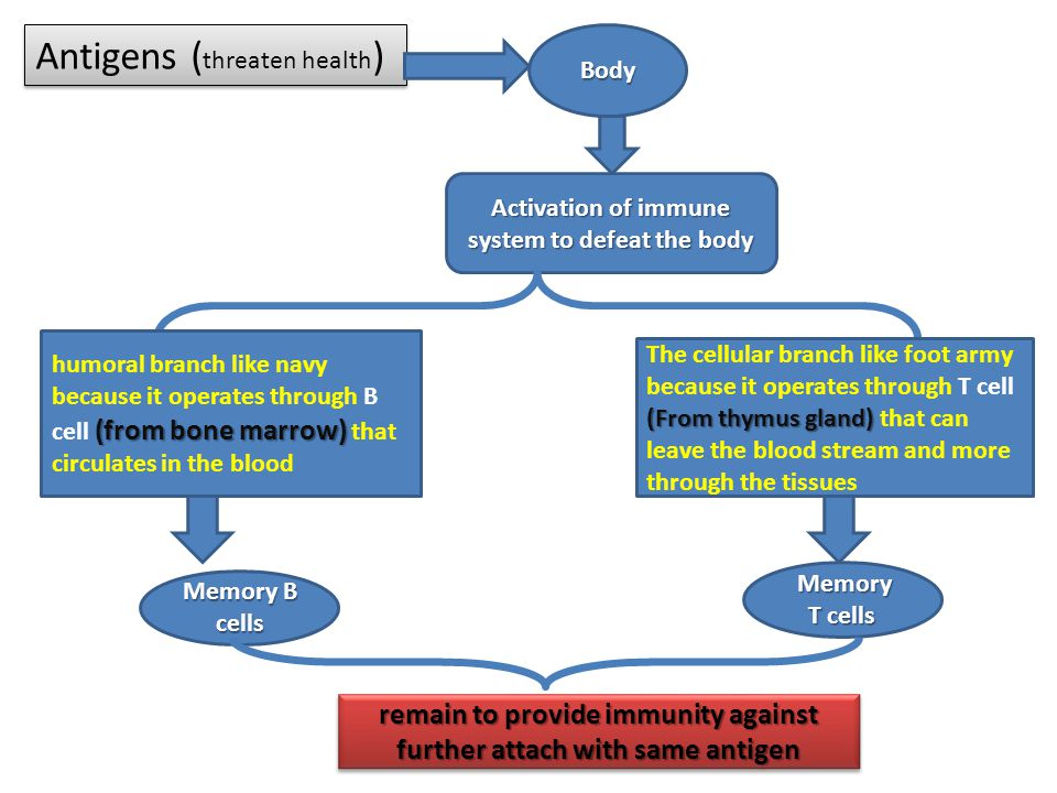 Antigens ( threaten health ) Body Activation of immune system to defeat the body (from bone marrow) humoral branch like navy because it operates through B cell (from bone marrow) that circulates in the blood (From thymus gland) The cellular branch like foot army because it operates through T cell (From thymus gland) that can leave the blood stream and more through the tissues Memory B cells Memory T cells Memory T cells remain to provide immunity against further attach with same antigen