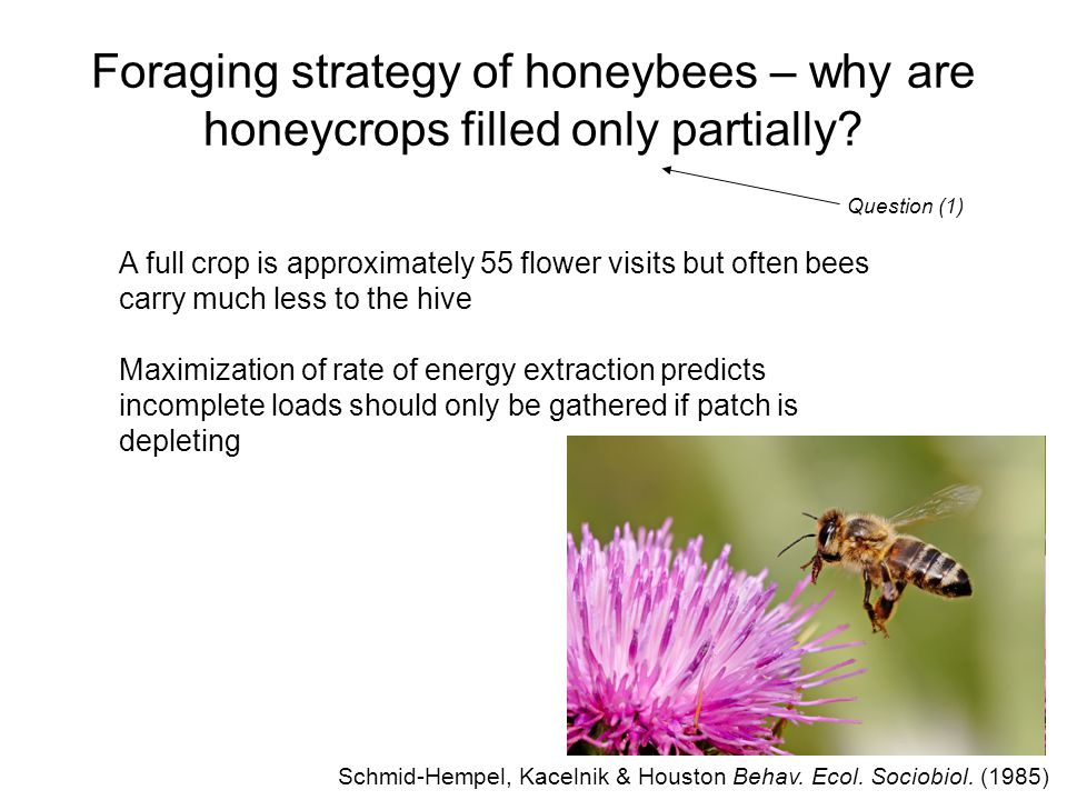 13 Foraging strategy of honeybees – why are honeycrops filled only partially.