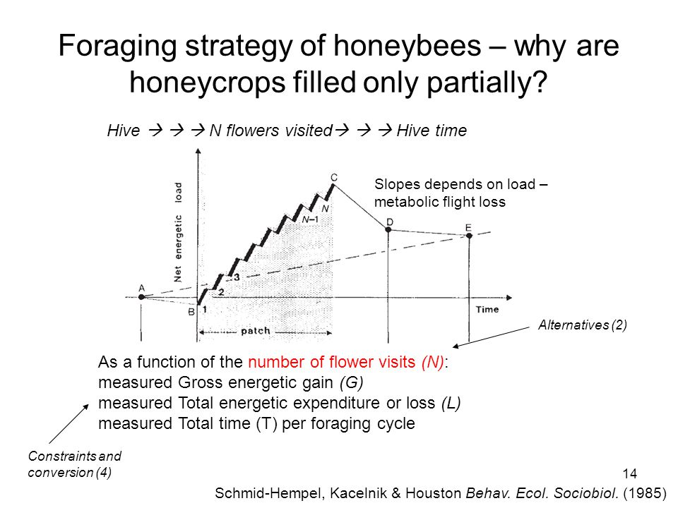 14 Foraging strategy of honeybees – why are honeycrops filled only partially.