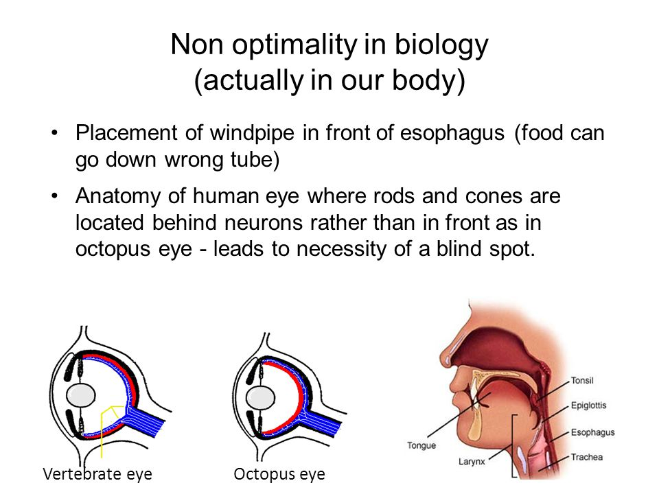 55 Placement of windpipe in front of esophagus (food can go down wrong tube) Anatomy of human eye where rods and cones are located behind neurons rather than in front as in octopus eye - leads to necessity of a blind spot.