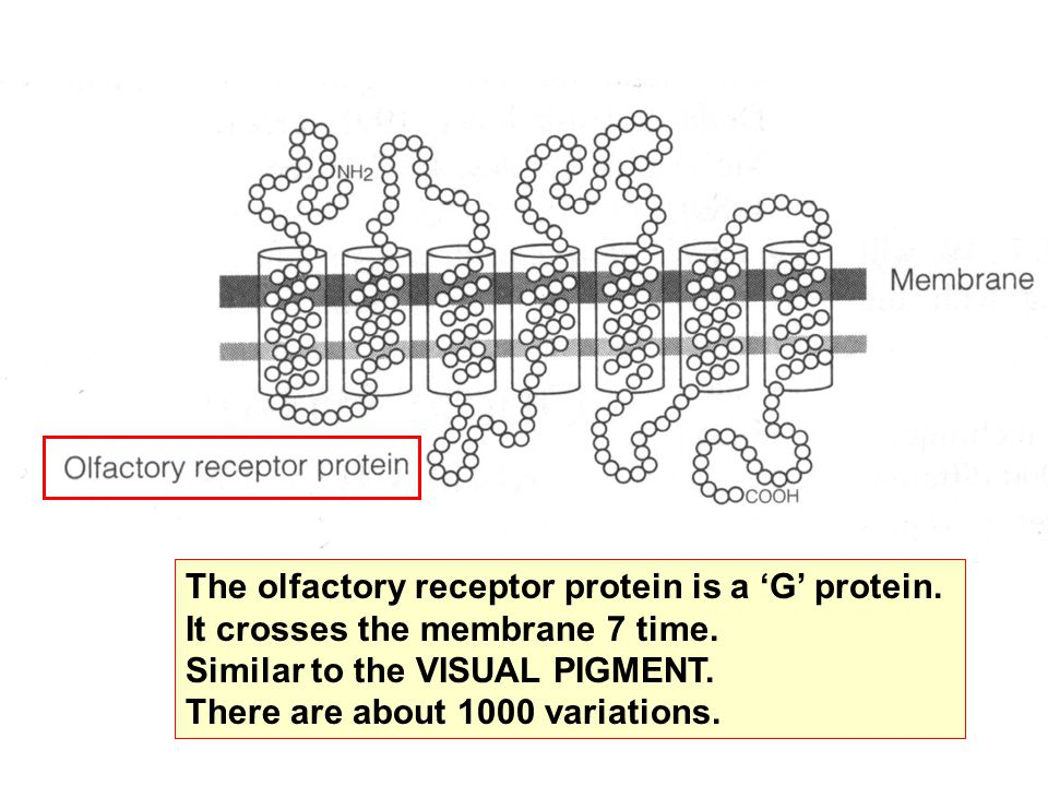The olfactory receptor protein is a 'G' protein.It crosses the membrane 7 time.