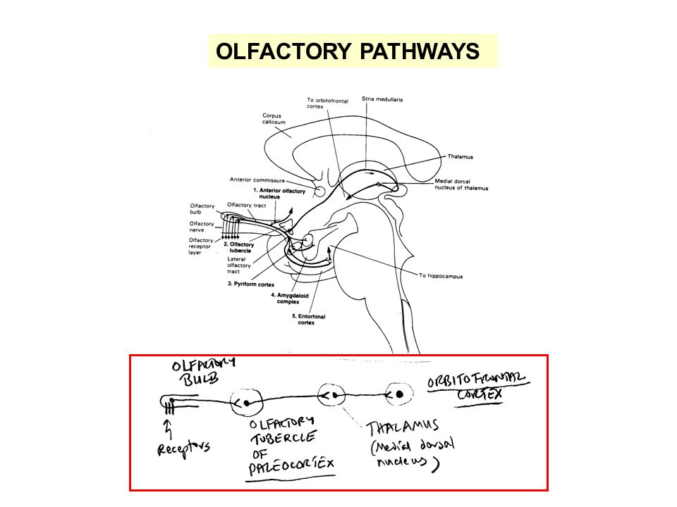 OLFACTORY PATHWAYS