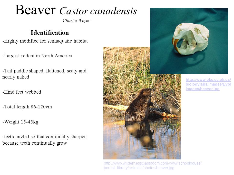 Beaver Castor canadensis Charles Weyer Identification -Highly modified for semiaquatic habitat -Largest rodent in North America -Tail paddle shaped, flattened, scaly and nearly naked -Hind feet webbed -Total length 86-120cm -Weight 15-45kg -teeth angled so that continually sharpen because teeth continually grow http://www.wildernessclassroom.com/www/schoolhouse/ boreal_library/animals/photos/beaver.jpg http://www.okc.cc.ok.us/ biologylabs/Images/Evol images/beaver.jpg