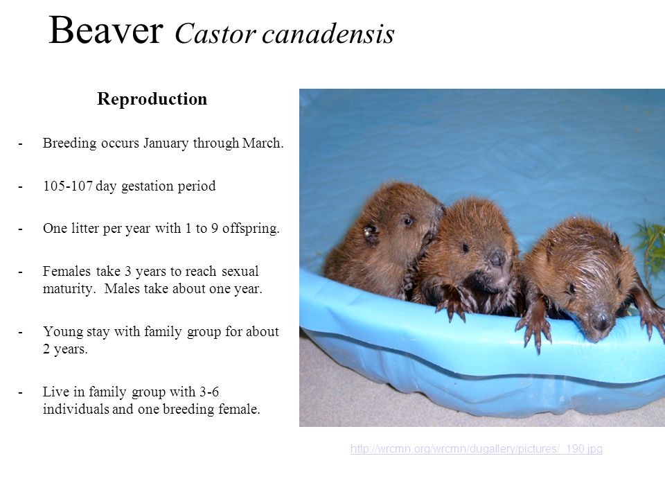Beaver Castor canadensis Reproduction -Breeding occurs January through March.