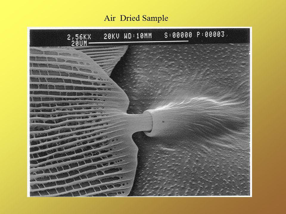 Air Dried Sample