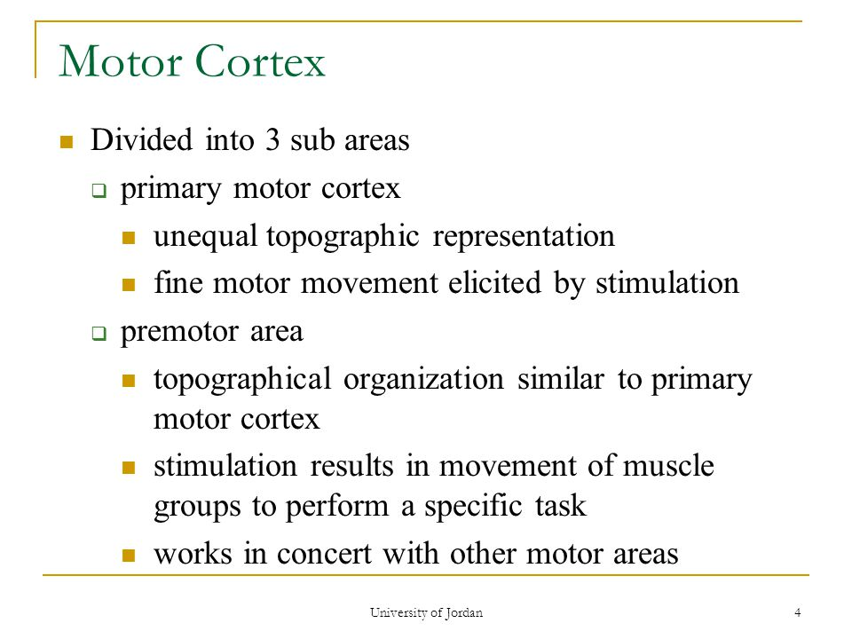 University of Jordan 4 Motor Cortex Divided into 3 sub areas  primary motor cortex unequal topographic representation fine motor movement elicited by stimulation  premotor area topographical organization similar to primary motor cortex stimulation results in movement of muscle groups to perform a specific task works in concert with other motor areas