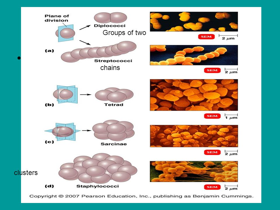 Bacteria exists in 3 major shapes chains Groups of two clusters