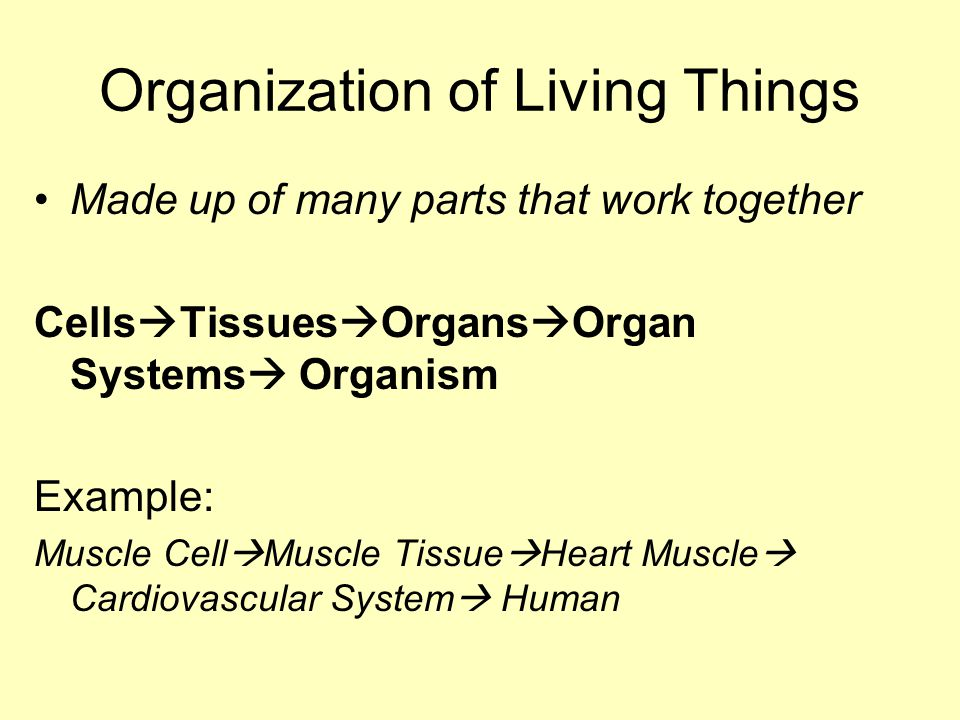Organization of Living Things Made up of many parts that work together Cells  Tissues  Organs  Organ Systems  Organism Example: Muscle Cell  Muscle Tissue  Heart Muscle  Cardiovascular System  Human