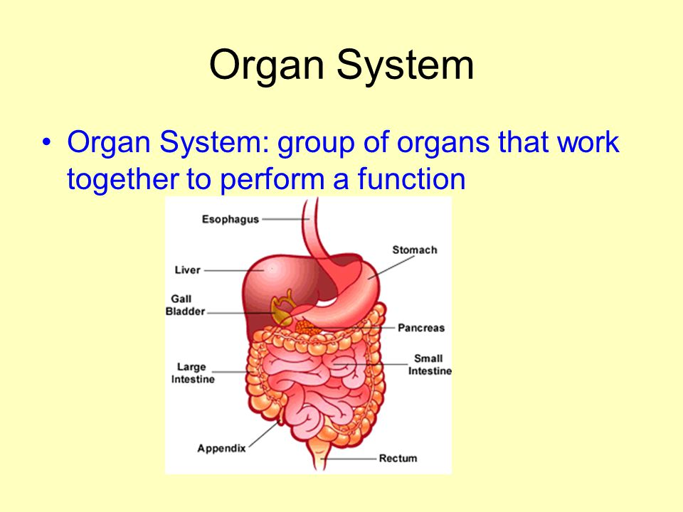 Organ System Organ System: group of organs that work together to perform a function