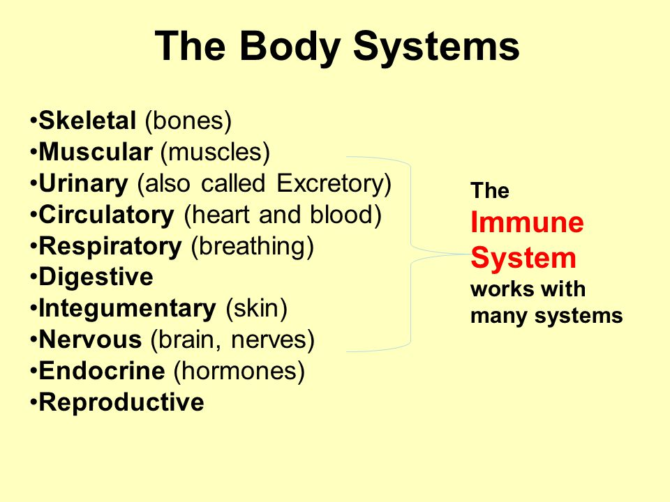 The Body Systems Skeletal (bones) Muscular (muscles) Urinary (also called Excretory) Circulatory (heart and blood) Respiratory (breathing) Digestive Integumentary (skin) Nervous (brain, nerves) Endocrine (hormones) Reproductive The Immune System works with many systems