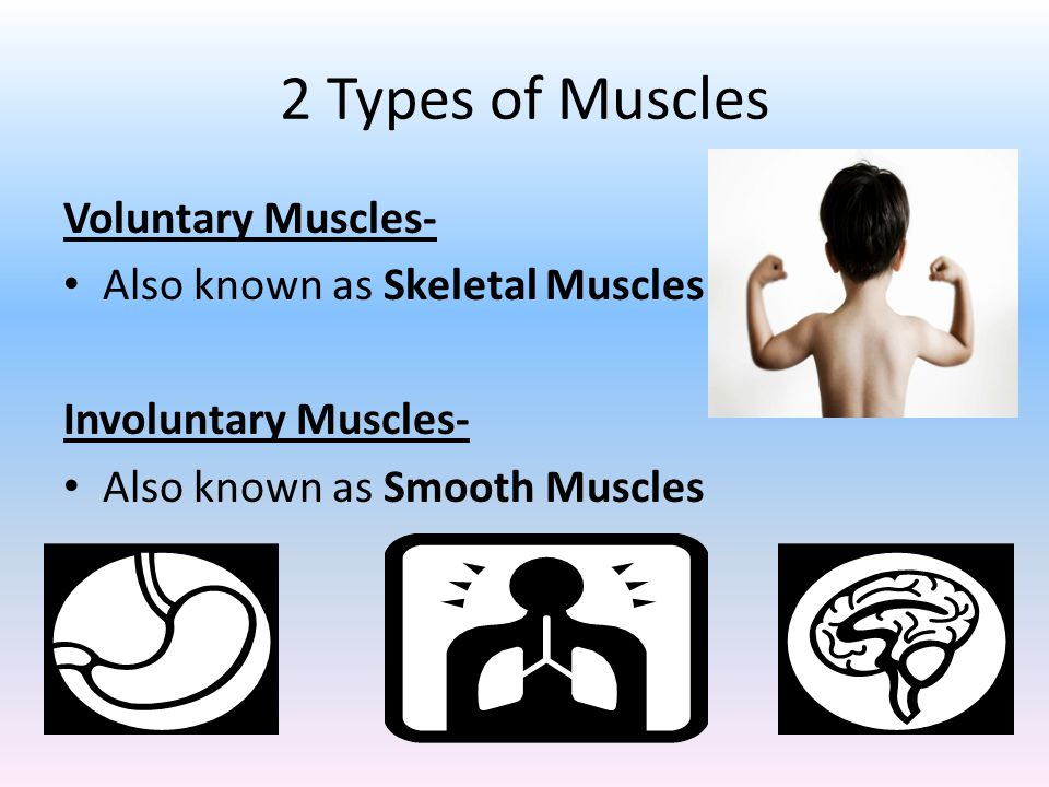 2 Types of Muscles Voluntary Muscles- Also known as Skeletal Muscles Involuntary Muscles- Also known as Smooth Muscles