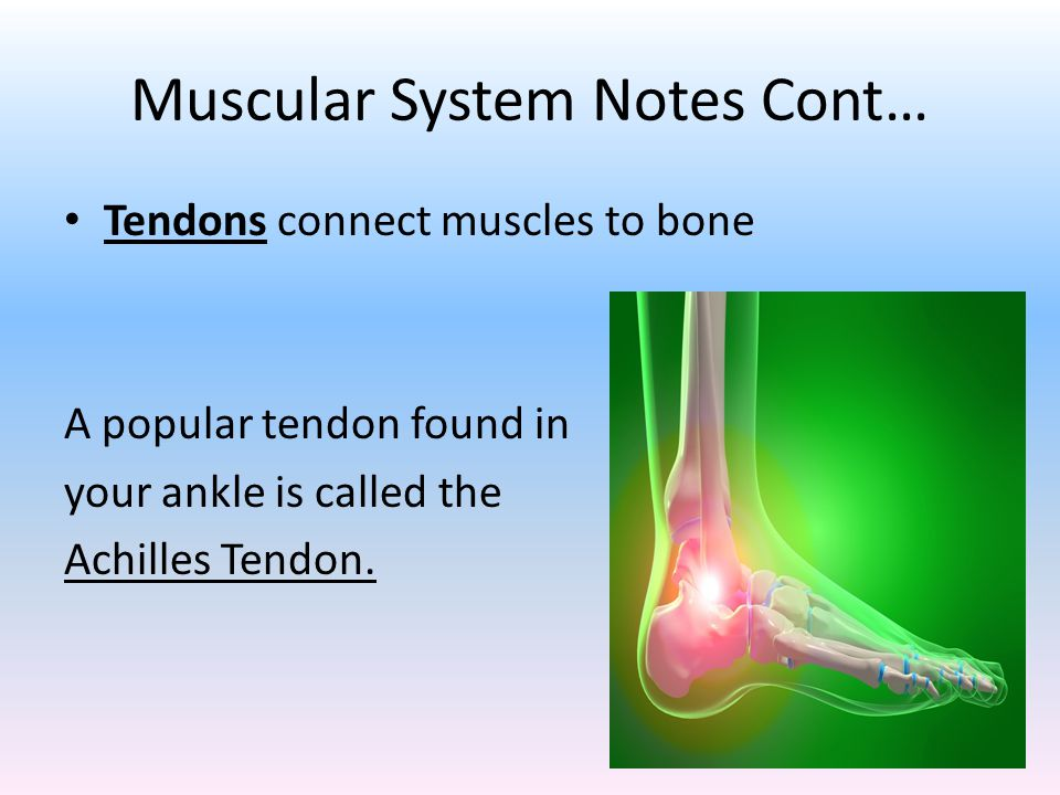 Muscular System Notes Cont… Tendons connect muscles to bone A popular tendon found in your ankle is called the Achilles Tendon.