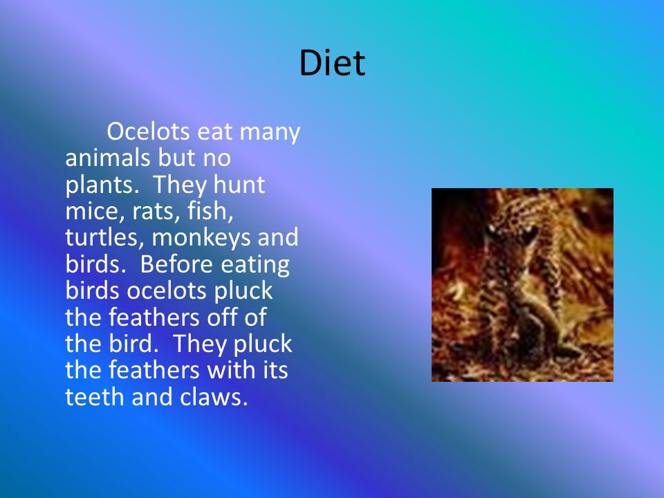 Diet Ocelots eat many animals but no plants. They hunt mice, rats, fish, turtles, monkeys and birds. Before eating birds ocelots pluck the feathers of