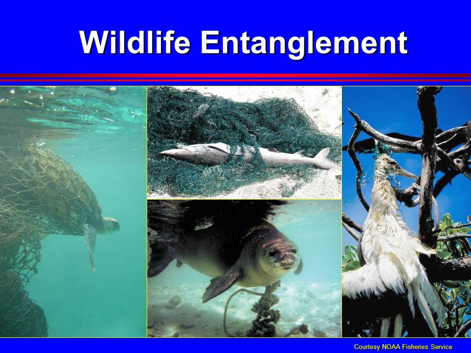Wildlife Entanglement Courtesy NOAA Fisheries Service