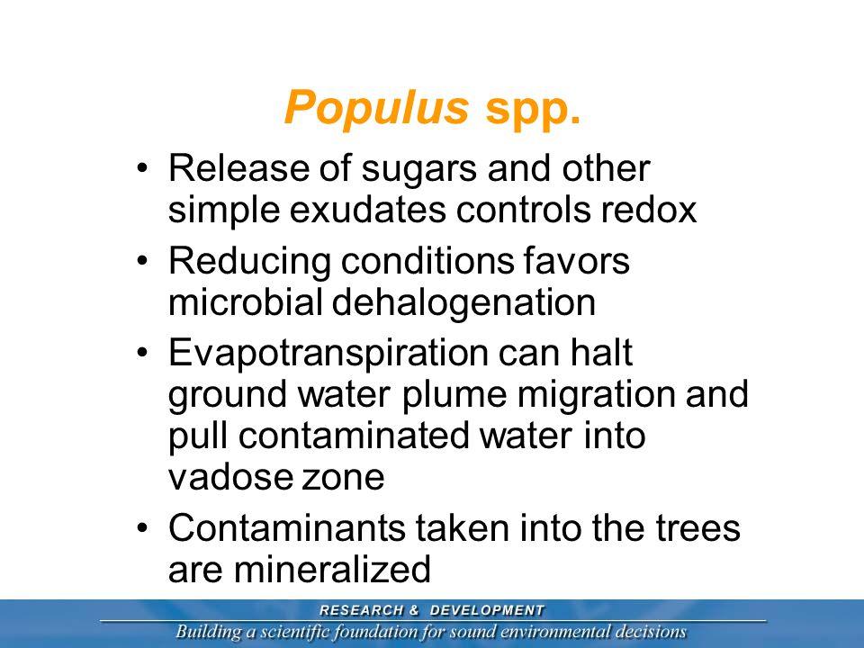 Populus spp.
