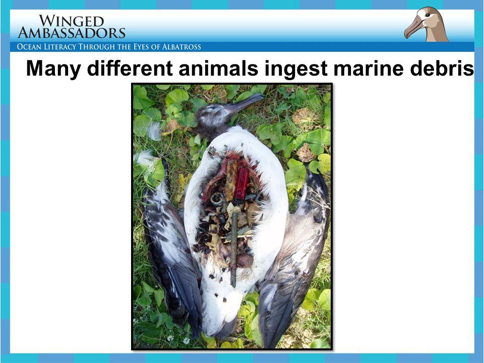 Many different animals ingest marine debris