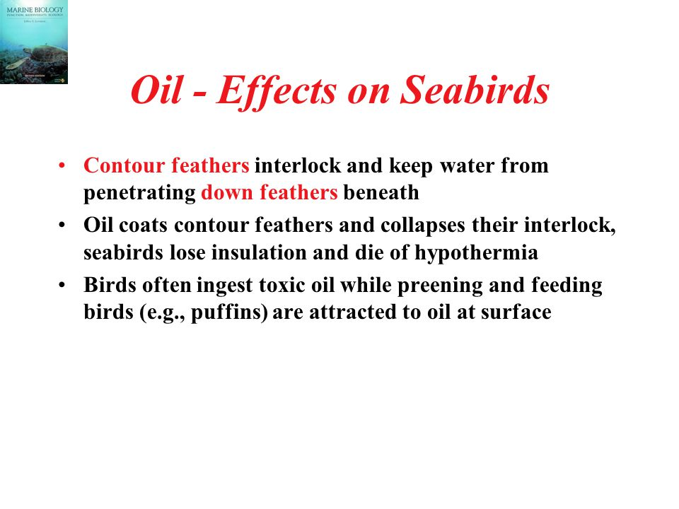 Oil - Effects on Seabirds Contour feathers interlock and keep water from penetrating down feathers beneath Oil coats contour feathers and collapses their interlock, seabirds lose insulation and die of hypothermia Birds often ingest toxic oil while preening and feeding birds (e.g., puffins) are attracted to oil at surface
