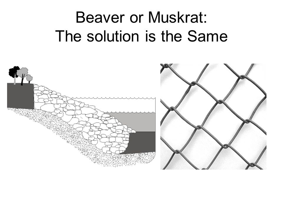 Beaver or Muskrat: The solution is the Same