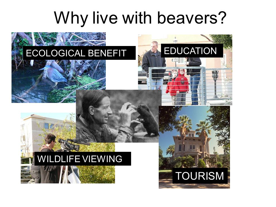 Why live with beavers ECOLOGICAL BENEFIT WILDLIFE VIEWING EDUCATION TOURISM