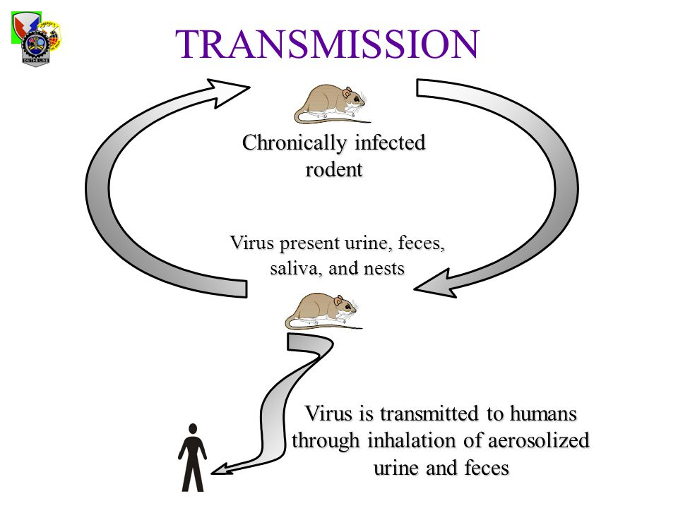 Chronically infected rodent Virus is transmitted to humans through inhalation of aerosolized urine and feces Virus present urine, feces, saliva, and n