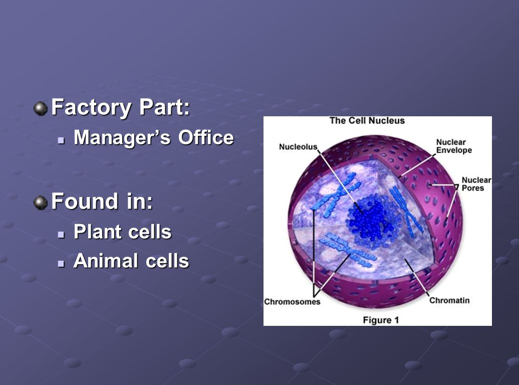 Factory Part: Manager's Office Manager's Office Found in: Plant cells Plant cells Animal cells Animal cells