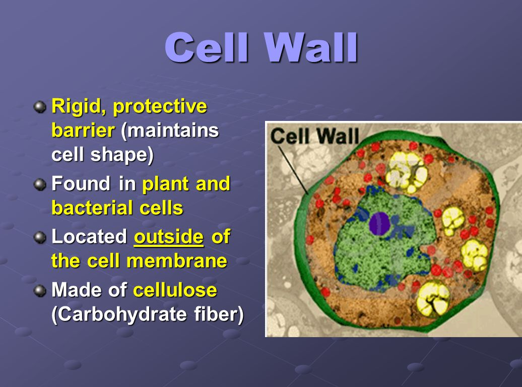 Cell Wall Rigid, protective barrier (maintains cell shape) Found in plant and bacterial cells Located outside of the cell membrane Made of cellulose (