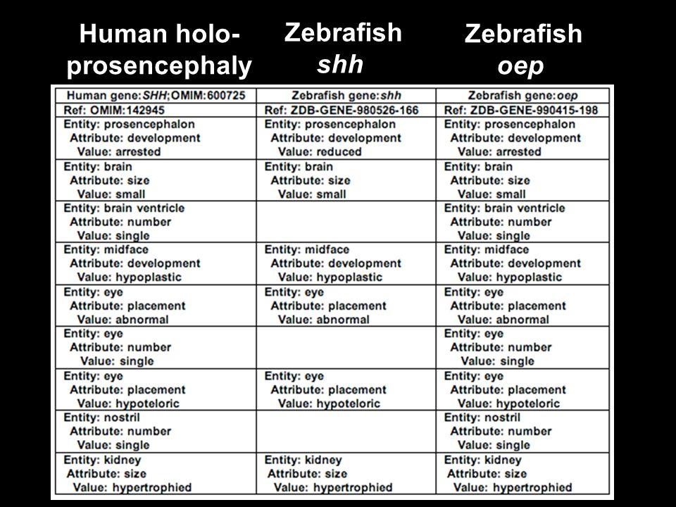 Human holo- prosencephaly Zebrafish shh Zebrafish oep