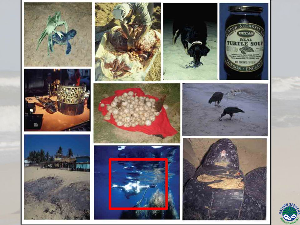 H ATCHLING P RODUCTION Assessing hatching success Determining the extent of beach/nest loss
