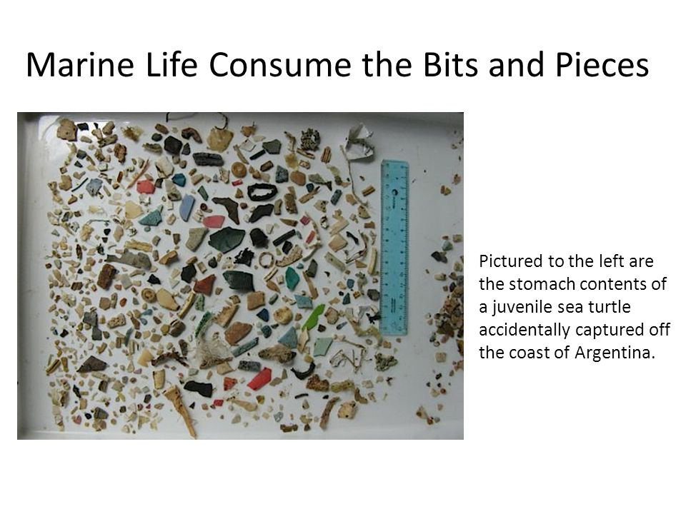 Marine Life Consume the Bits and Pieces Pictured to the left are the stomach contents of a juvenile sea turtle accidentally captured off the coast of