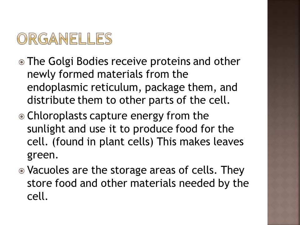  The Golgi Bodies receive proteins and other newly formed materials from the endoplasmic reticulum, package them, and distribute them to other parts