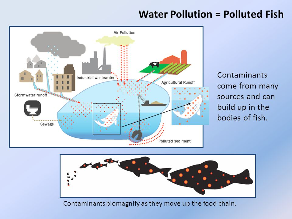 Contaminants biomagnify as they move up the food chain.