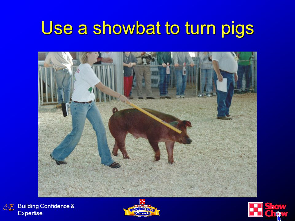 CE Building Confidence & Expertise Use a showbat to turn pigs