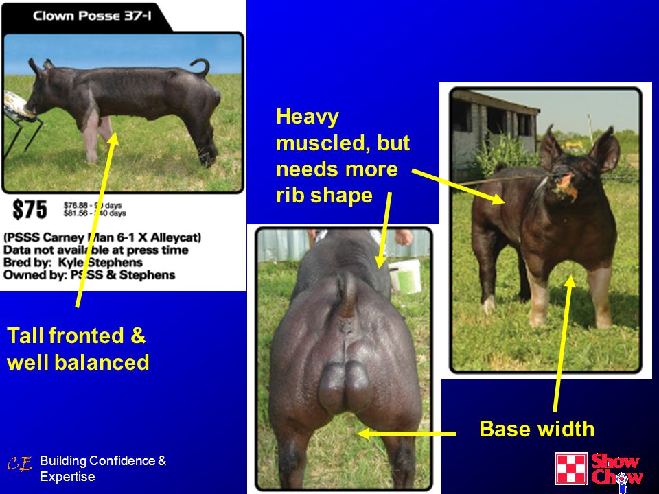 CE MEAT GOATS Since most goats do not deposit external fat as quickly as other species of livestock, a self-feeding program can be used effectively.Since most goats do not deposit external fat as quickly as other species of livestock, a self-feeding program can be used effectively.