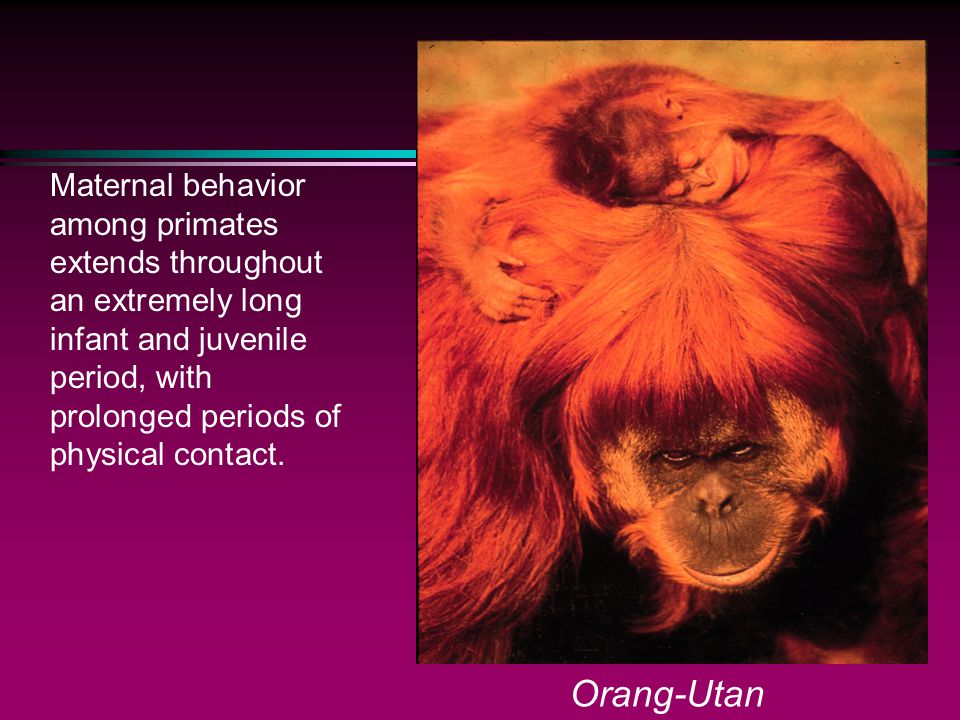Maternal behavior among primates extends throughout an extremely long infant and juvenile period, with prolonged periods of physical contact. Orang-Ut