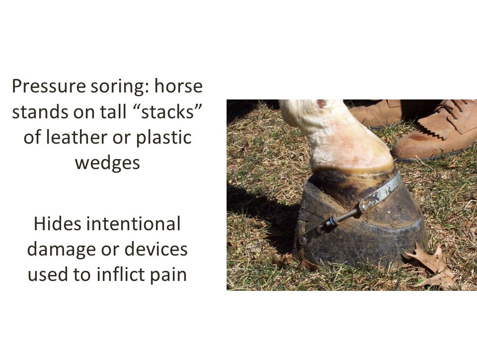 Pressure soring: horse stands on tall stacks of leather or plastic wedges Hides intentional damage or devices used to inflict pain
