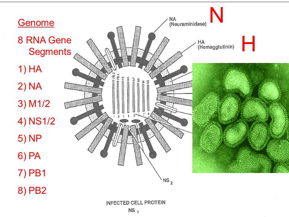 N H Genome 8 RNA Gene Segments 1)HA 2)NA 3)M1/2 4)NS1/2 5)NP 6)PA 7)PB1 8)PB2