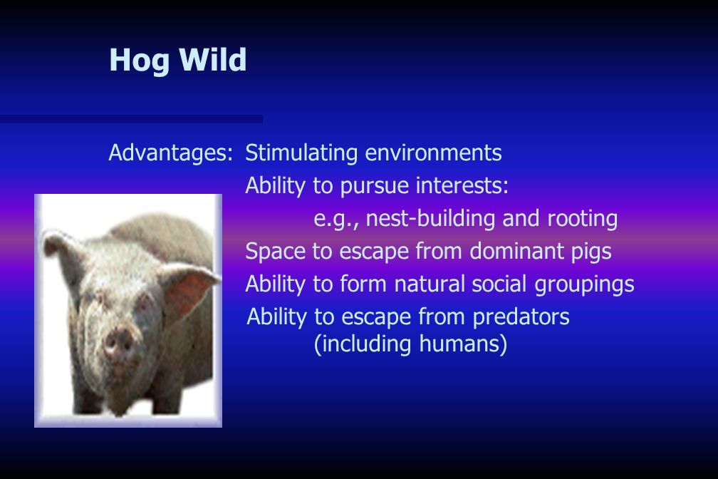 Hog Wild Advantages:Stimulating environments Ability to pursue interests: e.g., nest-building and rooting Space to escape from dominant pigs Ability to form natural social groupings Ability to escape from predators (including humans)