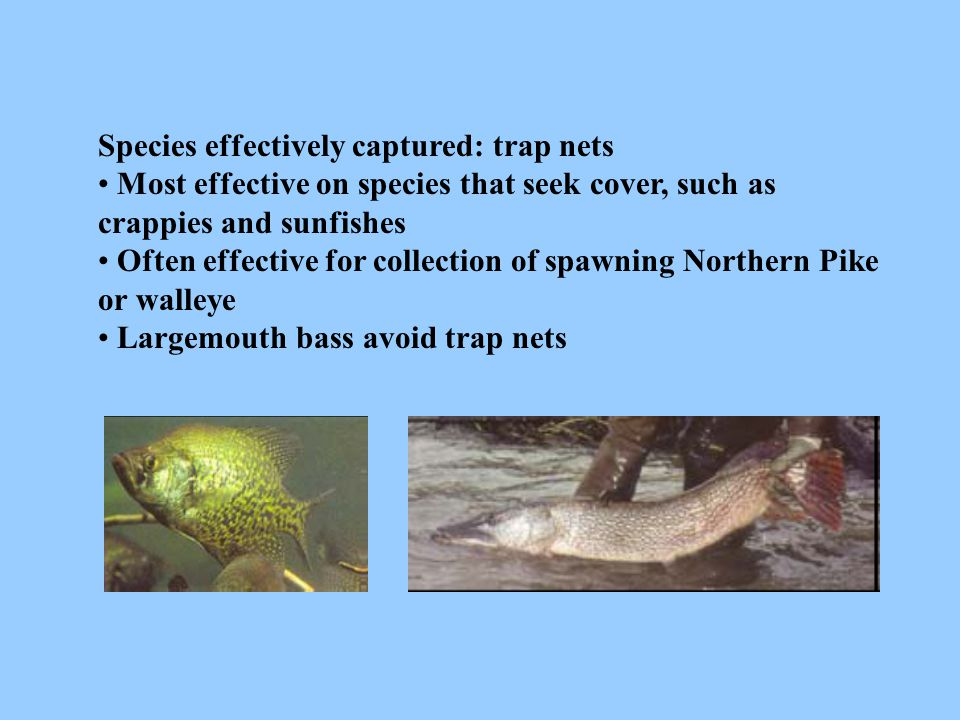 Species effectively captured: trap nets Most effective on species that seek cover, such as crappies and sunfishes Often effective for collection of sp