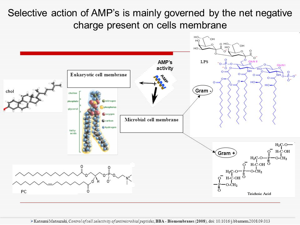 LPS Selective action of AMP's is mainly governed by the net negative charge present on cells membrane  Katsumi Matsuzaki, Control of cell selectivity of antimicrobial peptides, BBA - Biomembranes (2008), doi: 10.1016/j.bbamem.2008.09.013 Gram -Gram + AMP's activity Eukaryotic cell membrane Microbial cell membrane + chol PC