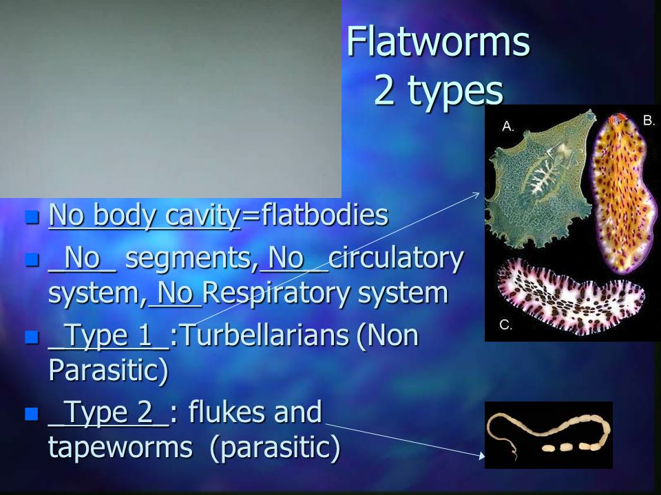 Flatworms 2 types n No body cavity=flatbodies n _No_ segments, No_ circulatory system, No Respiratory system n _Type 1_:Turbellarians (Non Parasitic) n _Type 2_: flukes and tapeworms (parasitic)